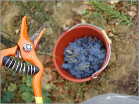 grape-harvest